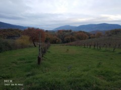 Collescipoli vicinity: agricultural land with vineyard - 1